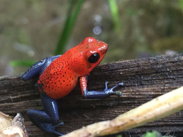 Circuit en famille des caraïbes au pacifique, grenouille rouge et bleue sur la cote caraibe du Costa Rica