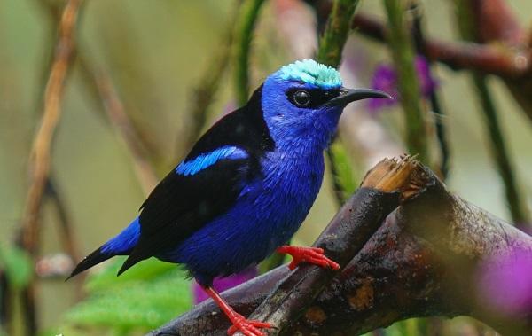 Circuit en famille des caraïbes au pacifique, Oiseau bleu et noir du Costa Rica