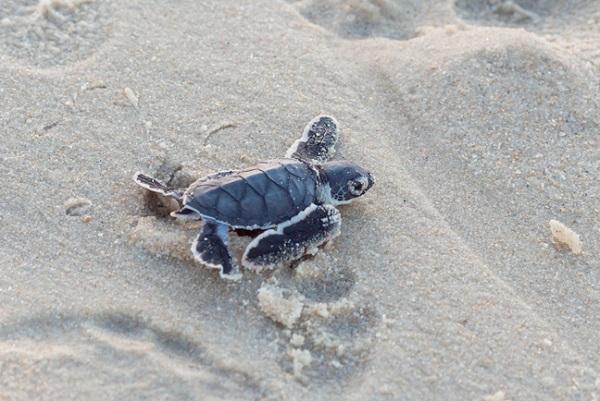 Naissance des tortues a Tortuguero, parc national du Costa Rica