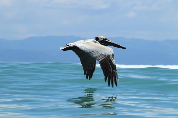 Pelican du Costa Rica