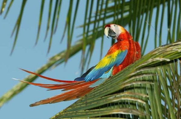 Ara sur la cote Pacifique centrale du Costa Rica