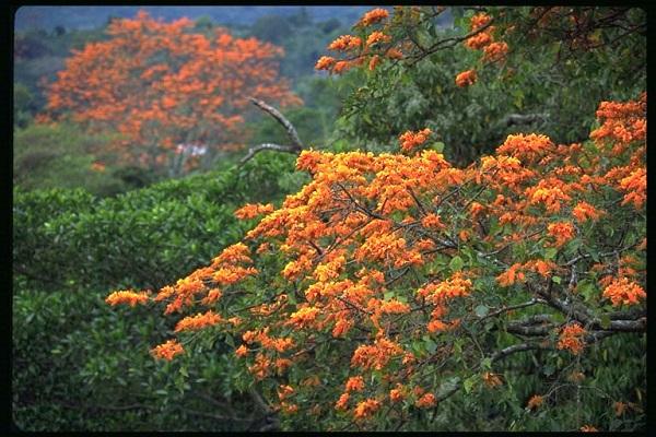 Les arbres du Costa Rica