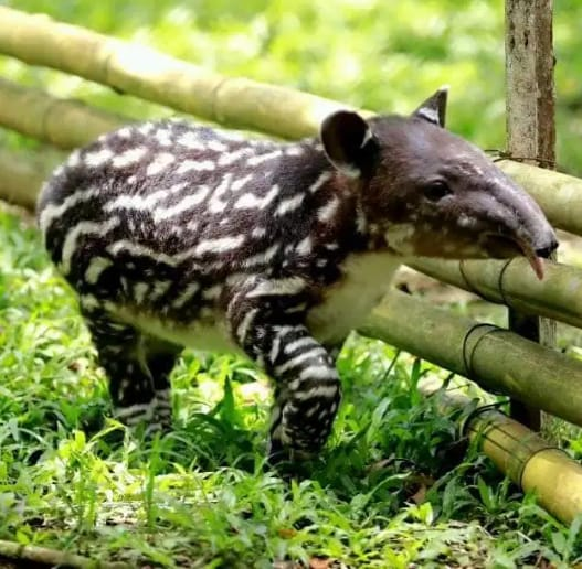 Bebe tapir, peninsule de Osa, Parc de Corcovado Costa Rica