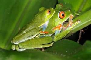 Activités excursions visites costarica Grenouilles Arboricoles du Costa Rica