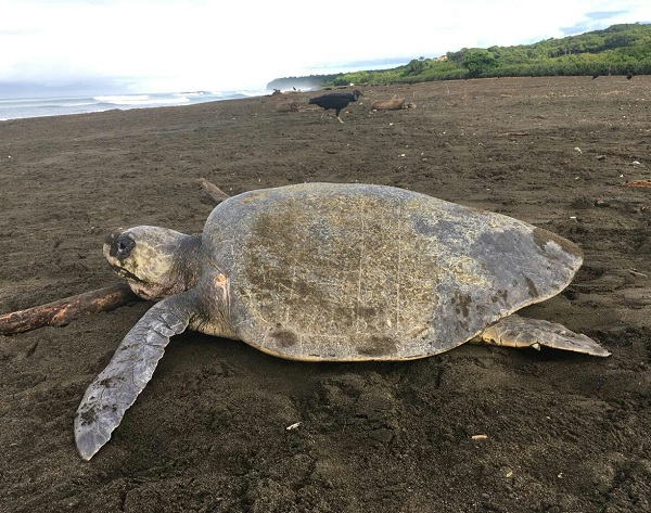 Les tortues vertes du Costa Rica, Tortuguero, cote Caraibe nord