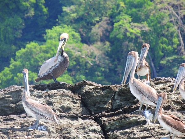 Pelicans parc national Marino Ballena, Costa Rica