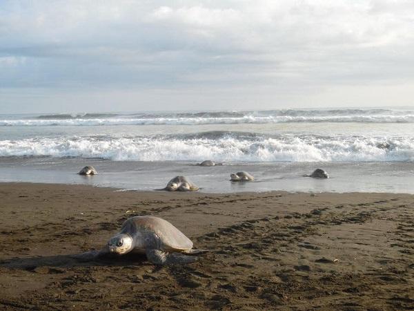 Arrivée des tortues Olivâtres a Ostional.