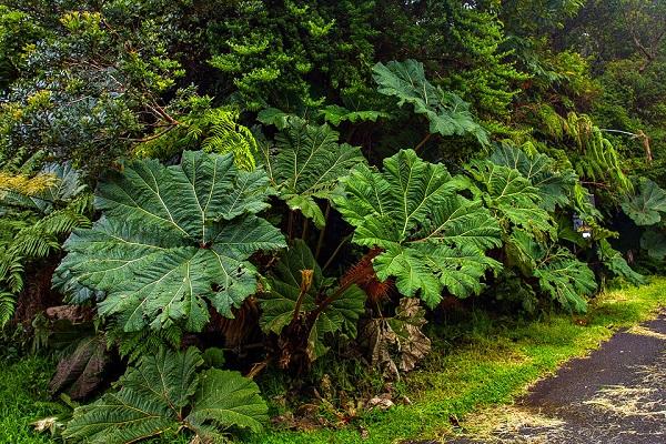 Parapluie du pauvre, parc national du volcan Poas, Costa Rica