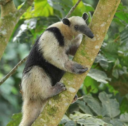 Fourmillier au parc national du volcan Arenal, Costa Rica