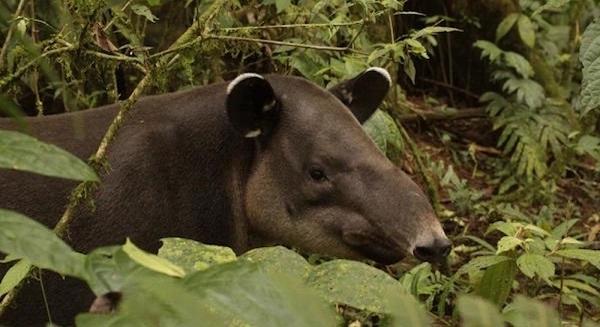 Tapir dans le parc national du volcan Tenorio, Costa Rica