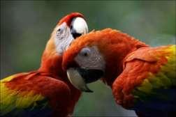 faune et flore du Costa Rica Aras macaw costa rica