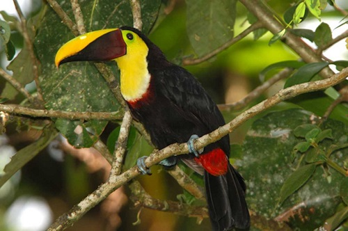 Toucan a l'Arenal Observatory lodge