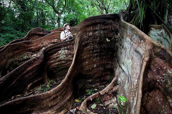 Arbre et racines Hacienda Baru chambre pacifique Costa Rica