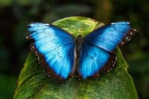 Papillon Blue Morpho a Monteverde
