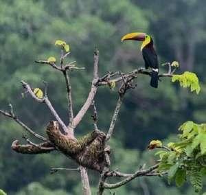arriere pays de Parrita paresseux et toucan
