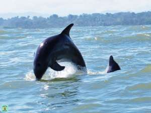 dauphins cote caraibe du Costa Rica