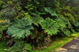 Parapluie du pauvre au parc national du volcan Poas
