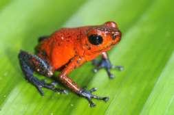 faune et flore du Costa Rica grenouille rouge et bleue costa rica