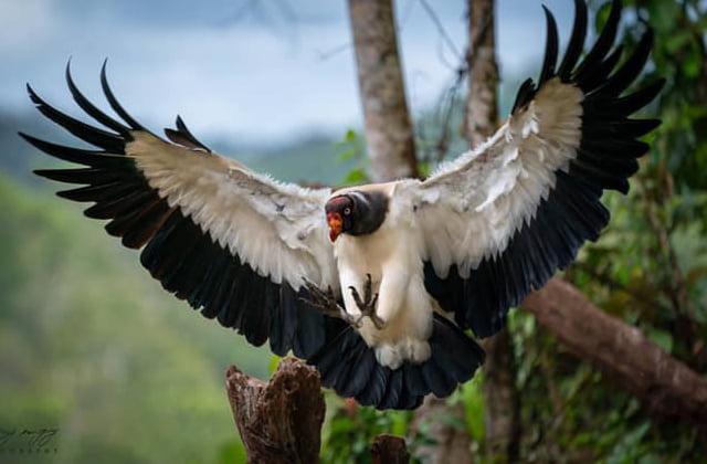 Vautour roi au parc national du volcan Arenal