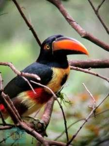 Toucan Boca Tapada Nord caraibe