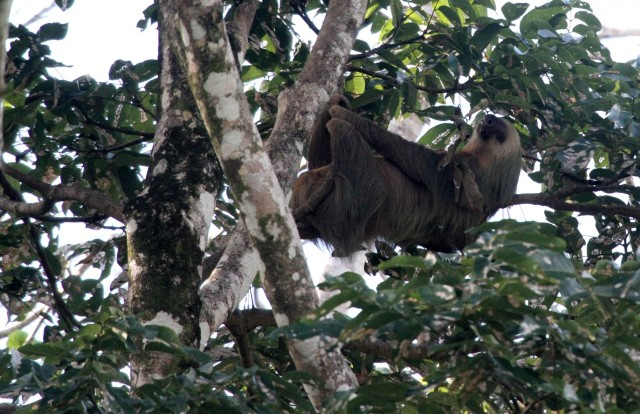 paresseux au parc national de Cahuita cote caraibe du costa Rica