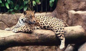 jaguar au Waterfallgardens parc national du volcan Poas