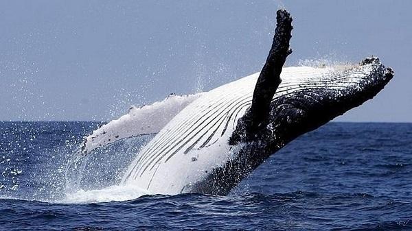 Saut specatuclaire d'une baleine