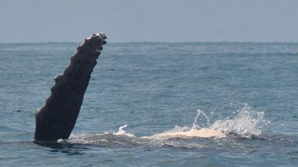 Les baleines a bosse du Costa Rica.