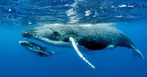 Baleine a bosses et son baleinau, Parc national Marino Ballena, Costa Rica
