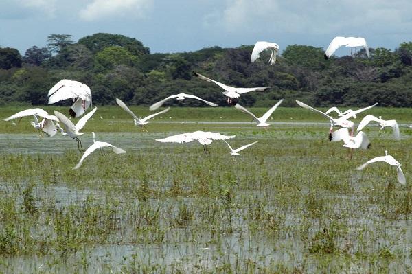 Le refuge de Cano Negro, oiseaux migrateurs vol d'aigrettes, Costa Rica