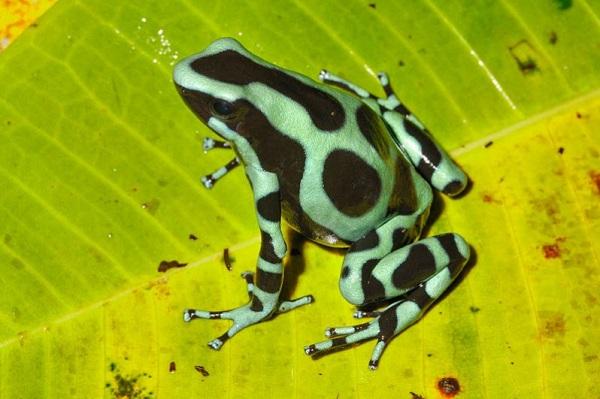 Grenouille dendrobate, Tortuguero, Caraibe, Costa Rica