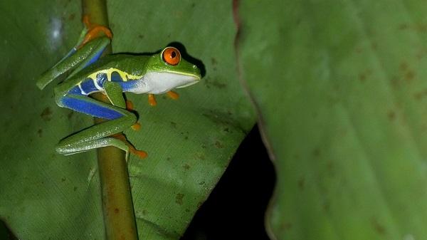 Grenouille arboricole a Boca Tapada, Costa Rica