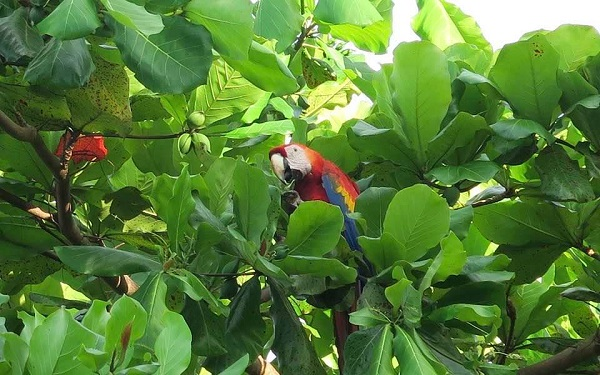 Aras Macaw, parc national de Corcovado, Peninsule de Osa