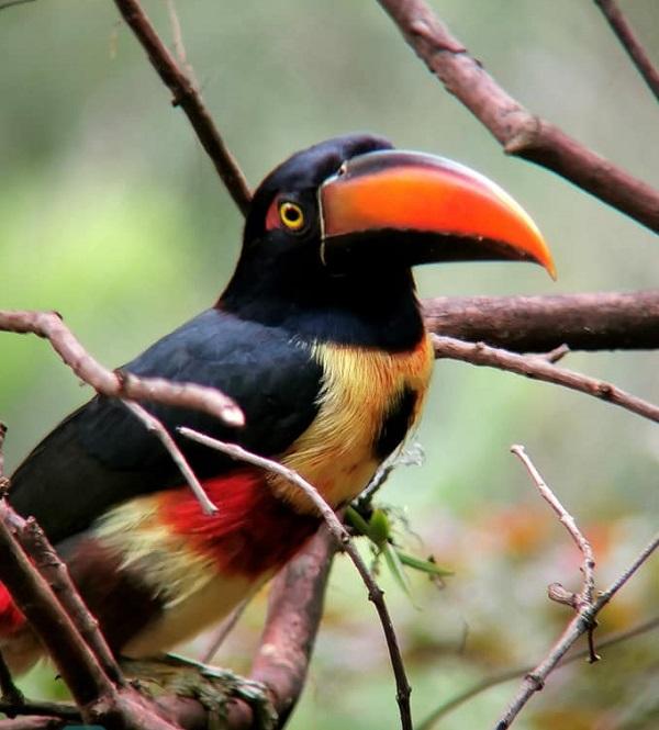 Toucancillo, de la famille des toucans,Costa Rica, Volcan Tenorio, Monteverde