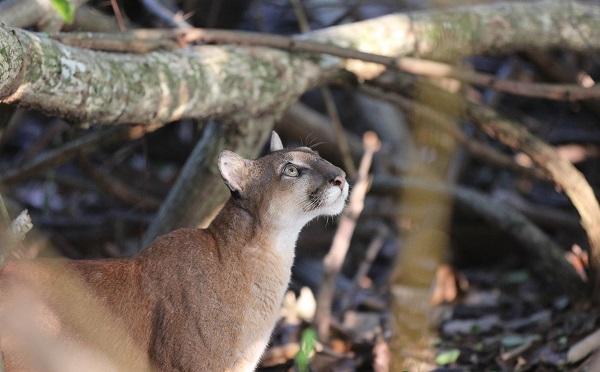 Puma au parc national de Corcovado, peninsule de Osa Costa Rica