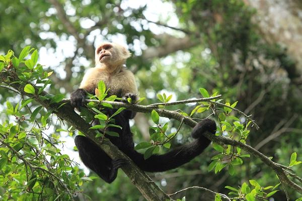 Singe a face blanche ou capucin, parc national de Corcovado, Costa Rica