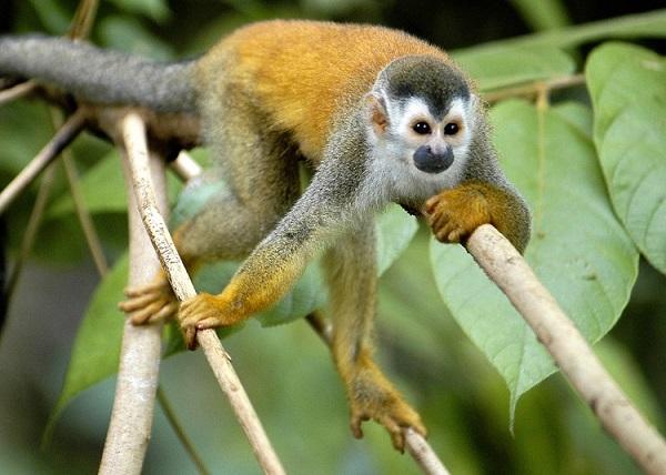 Singe Mono Titi ou écureuil a Manuel Antonio, Costa Rica