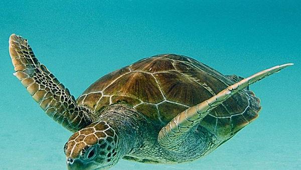 Tortue verte Tortuguero, cote Caraibe du Costa Rica