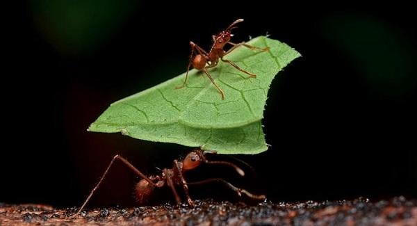 Les fourmis parasol du Costa Rica