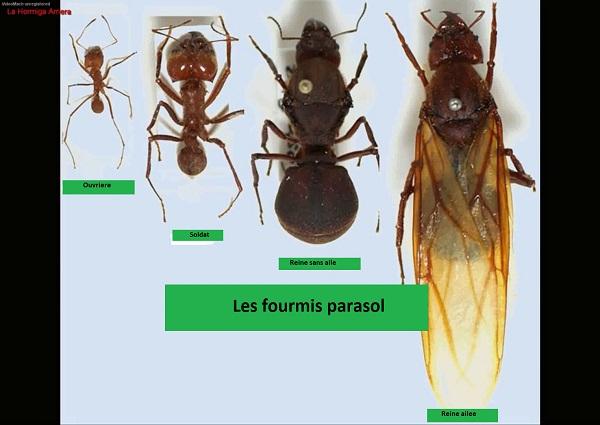 Les differentes fourmis de la fourmilliere