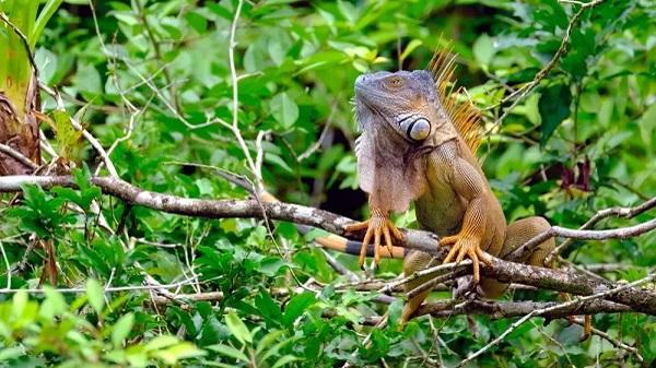 Iguane dans le parc de Cabo Blanco