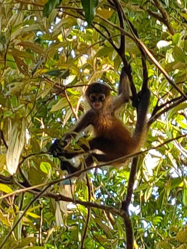 Le singe araignee au Costa Rica