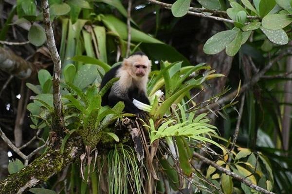 Le singe a face blanche ou capucin, Costa Rica