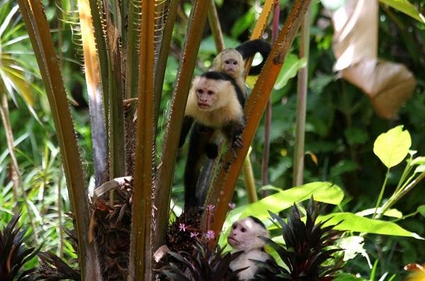 Les singes du Costa Rica, quatre especes.