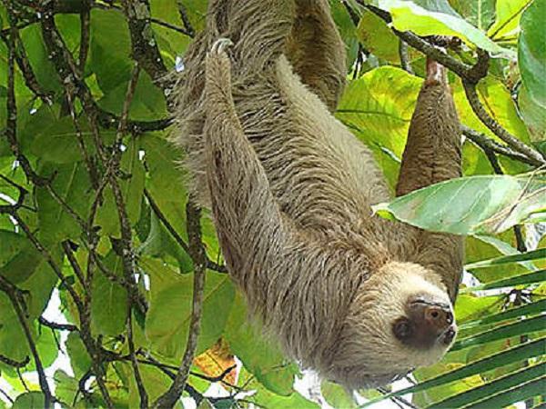 Le paresseux symbole No16 du Costa Rica, paresseux a deux doigts