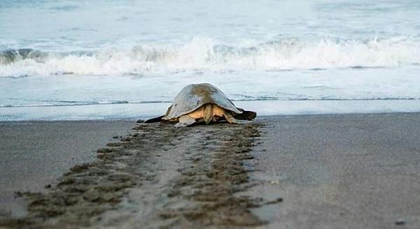 Les tortues vertes du Costa Rica