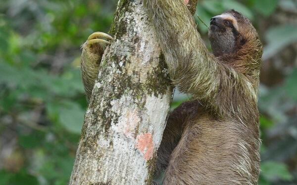 Paresseux au Costa Rica, accueil, agence receptive, voyage au Costa Rica