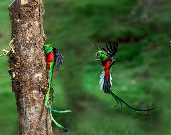 le Quetzal resplendissant au Costa Rica, séjour sur mesure.