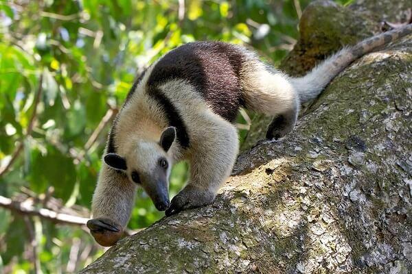Voyage sur mesure au Costa Rica. Le parc national de Corcovado, péninsule de Osa. Oso Hormiguero ou fourmilier.