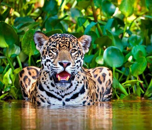 Un jaguar dans la zone protégée de Corcovado Costa Rica.